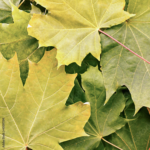 Maple Leaves Texture