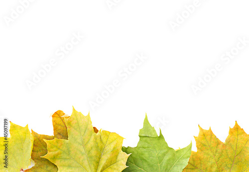 Yellow Maple Tree Leaves Border isolated on white