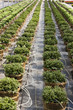 Rows of pot plants irrigated in greenhouse