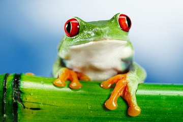 Green Frog with red eye.