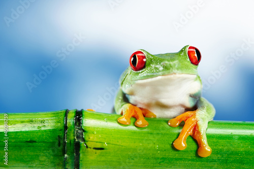 Green Frog with red eye. - 45098759