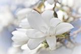 Beautiful magnolia blossom