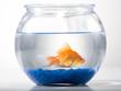 Studio shot of goldfish in a bowl