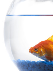 Goldfish in bowl on white background