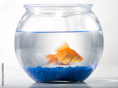 Studio shot of goldfish in a bowl