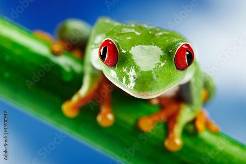 Fotobehang Kikker Green Frog with red eye.