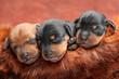 Miniature Pinscher puppies, 5 days old