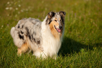 sable collie (rough)