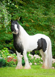 beautiful paint draft horse with long mane poster