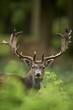 Fototapeten,hirsch,tier,jagen,jagd
