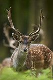 Fototapety head shot of a fallow deer stag (dama dama)