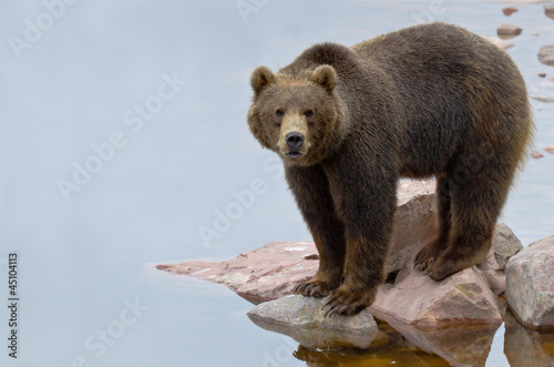 Brown bear fishing salmon