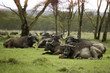 """Group of water buffalo, Africa"""
