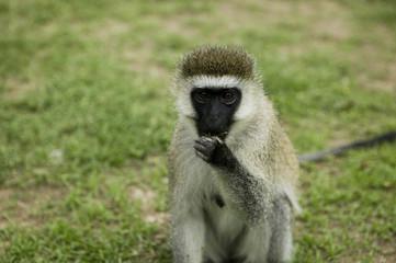 """""""Vervet monkey eating, Africa"""""""