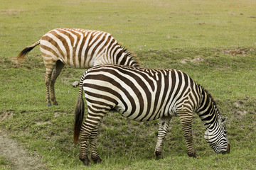 """Zebras eating grass, Africa"""