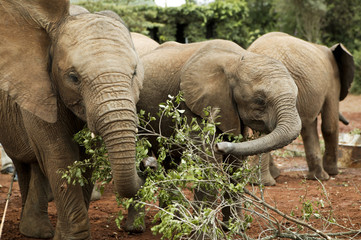 """Elephants in Kenya, Africa"""