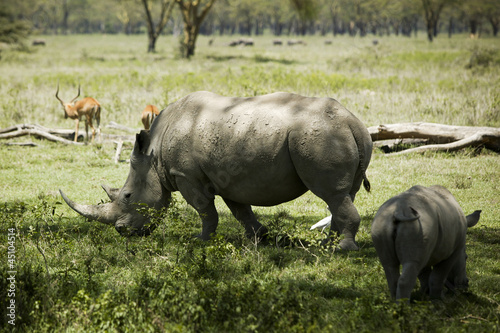 """Rhinoceroses and antelope in Kenya, Africa"""