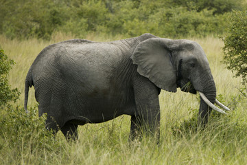 """Elephant walking through tall grass, Africa"""