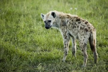 """Hyena in Kenya, Africa"""