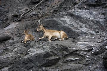 Stambecchi sulle rocce