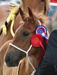 Champion Foal - 45111916