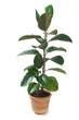 Ficus Elastica in Pot Isolated on White
