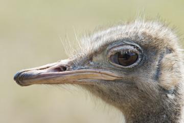 Detalle de la cabeza de una avestruz.