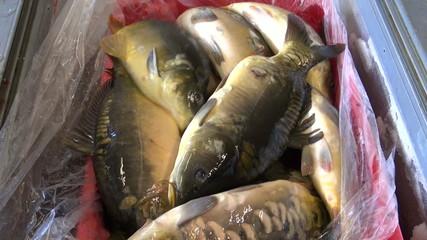 live fish carp in market box