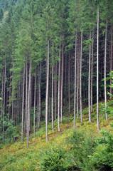 Green spruce, fir forest