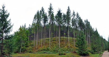 Green spruce, fir forest
