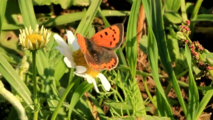 butterfly Small Copper