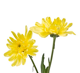 delicate yellow chrysanthemums on white background