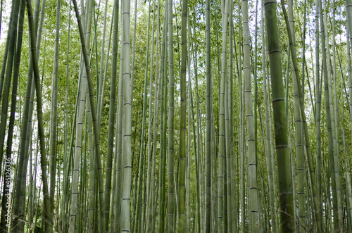 Bamboo forest seen from the side
