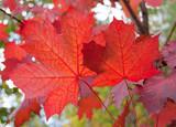 Fototapeta czerwony - tło - Drzewo
