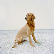 """USA, Utah, Salt Lake City, Half shaved Golden Retreiver portrait"""