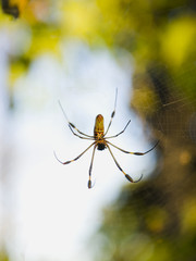 tropical spider