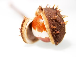 Single chestnut unfolding, isolated towards white background
