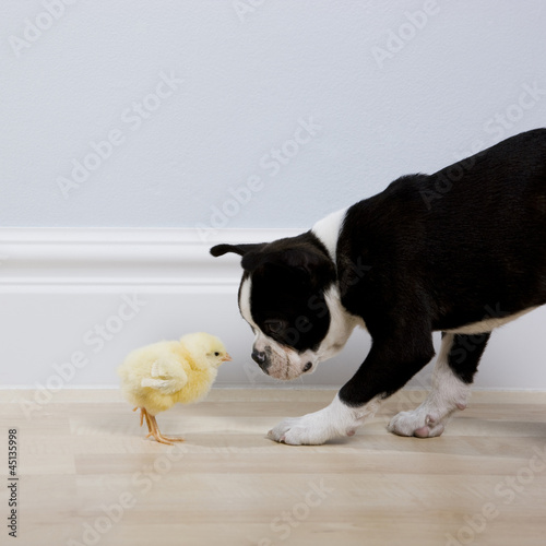 dog and a chick