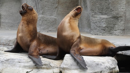 Two fur seals play on the rock