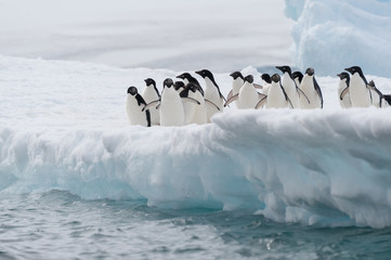 Adelie penguins colony going to jump in the water from iceberg,