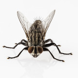 Fototapety Flesh fly species sarcophaga carnaria isolated on white