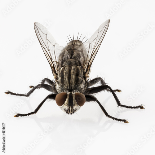Flesh fly species sarcophaga carnaria isolated on white