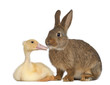 Rabbit sniffing duckling against white background