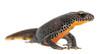 Alpine Newt, Ichthyosaura alpestris