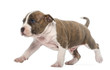 American Staffordshire Terrier Puppy walking