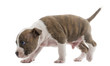 American Staffordshire Terrier Puppy walking and tracking