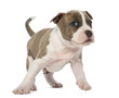 Portrait of American Staffordshire Terrier Puppy, 6 weeks old