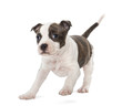 Portrait of American Staffordshire Terrier Puppy running