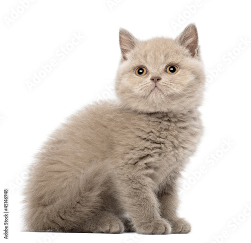 British Shorthair Kitten sitting, 9 weeks old