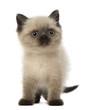 Portrait of British Shorthair Kitten, 5 weeks old